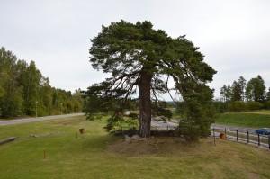 Bild på tallen som gett namn till platsen mellan Falun och Borlänge.